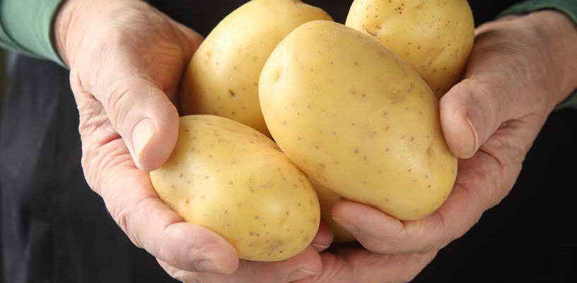 Yukon gold potato, developed at the University of Guelph, turns 50