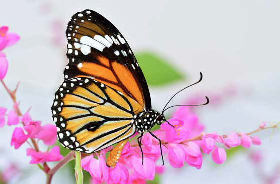 Monarch butterly migration research at the University of Guelph