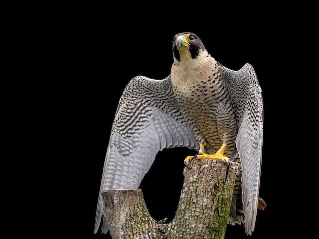 Majestic falcon perched on a stump