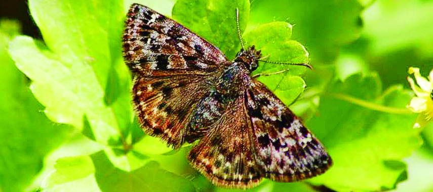 endangered butterfly