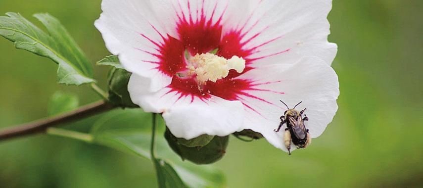 bee in hibiscus flower